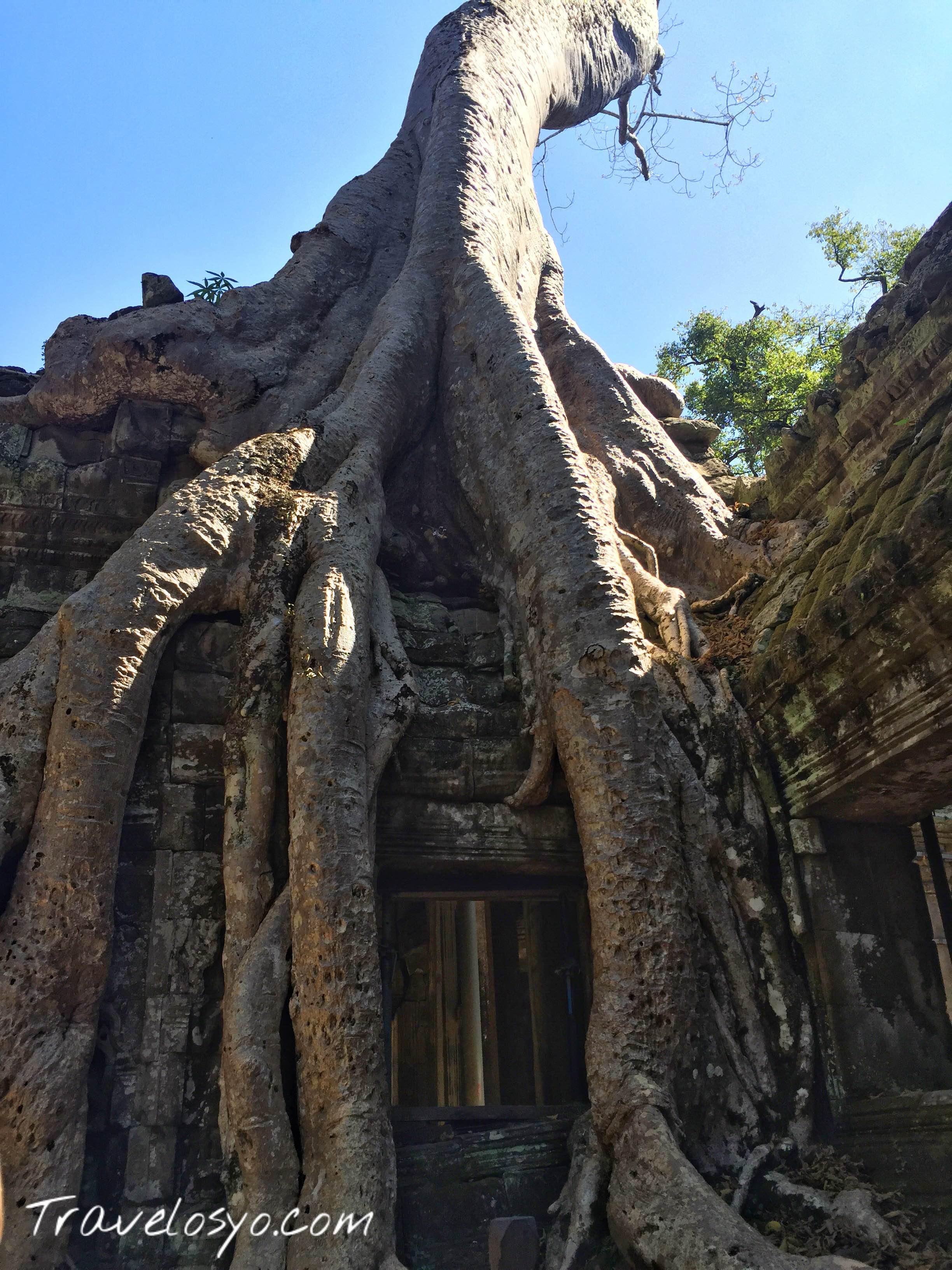 Ta Phrom trees